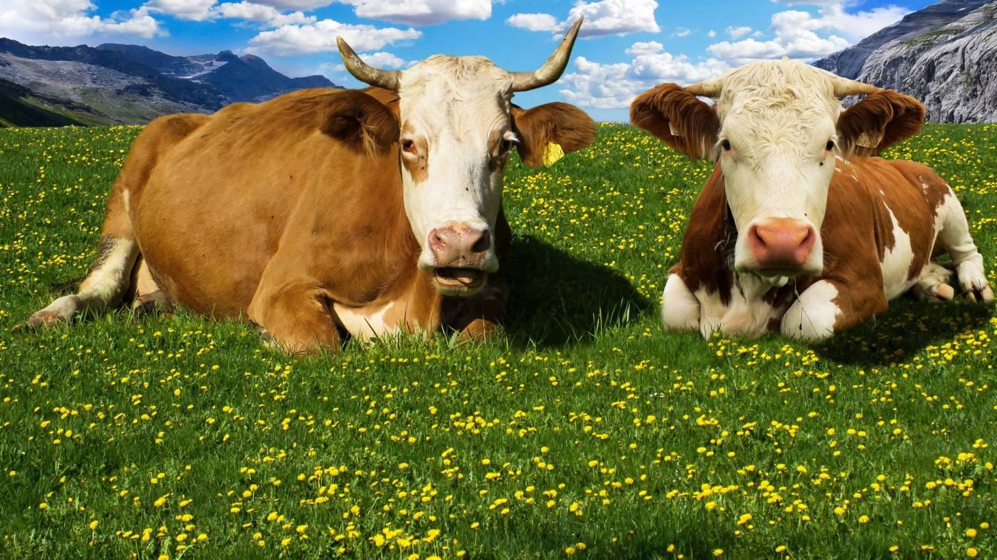 cows laying in a field looking at the camera