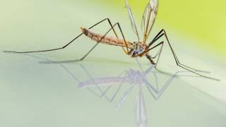 mosquito on water drinking